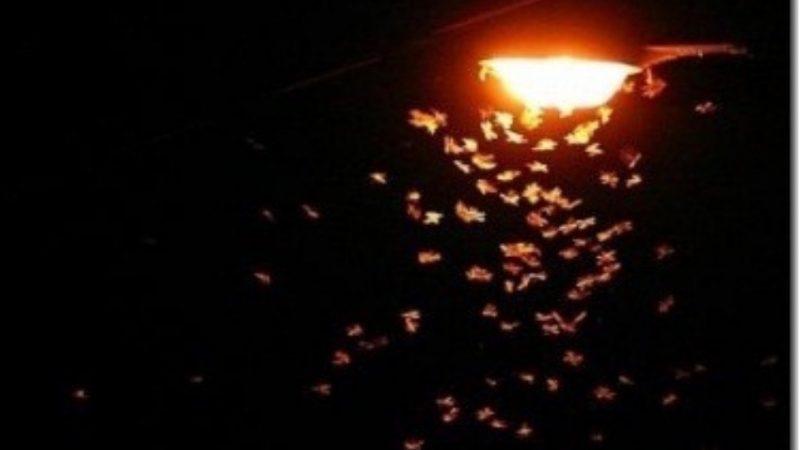light moth